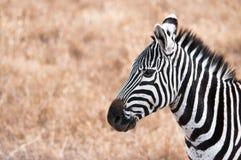 Angolo di Zebra_side Fotografia Stock Libera da Diritti