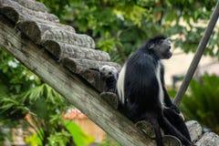 Angolska colobus małpa fotografia royalty free