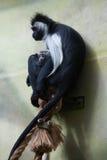 Angolski colobus (Colobus angolensis) Obrazy Stock