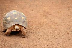 Angonoka tortoise Astrochelys yniphora Fotografia Royalty Free