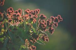 Angophora hispida的开发的花蕾 免版税图库摄影