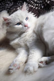 Angora cat Stock Photo
