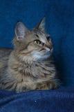 Angora cat Royalty Free Stock Image