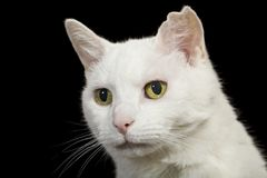 Angora Cat portrait Royalty Free Stock Photos