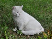 Angora cat Stock Images