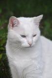 Angora cat Royalty Free Stock Photo