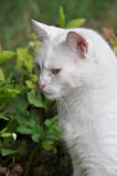 Angora cat profile Stock Images