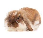 Angora del conejo aislado en el fondo blanco Foto de archivo
