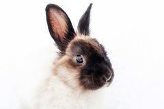 Angora Dwarf Rabbit. One angora dwarf on white background Royalty Free Stock Images