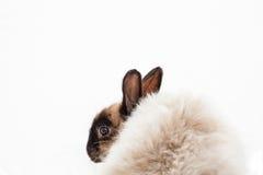 Angora Dwarf Rabbit. One angora dwarf on white background Royalty Free Stock Photo