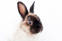 Angora Dwarf Rabbit. One angora dwarf on white background Stock Images