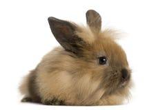 Angora geïsoleerd konijn, royalty-vrije stock afbeelding