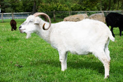 Angora goat. A horizontal image of an angora goat standing in a field with other animals in the background Royalty Free Stock Photo