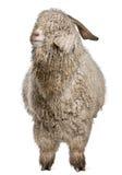 Angora goat stock images