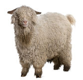 Angora goat. In front of white background Stock Image