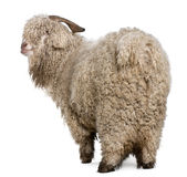 Angora goat Royalty Free Stock Photo