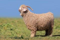 Angora goat Royalty Free Stock Image
