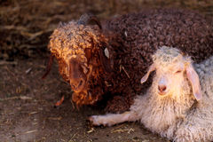 Angora goat, Capra aegagrus hircus Stock Photo