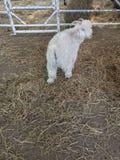 Angora goat Royalty Free Stock Photo