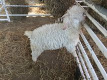 Angora goat stock photo