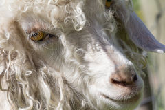 Angora goat face Stock Photography