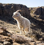 Angora goat is feeding in the Drakensberg, Lesotho. Angora goat is feeding in the Maluti mountains, Drakensberg, Lesotho. Winter in Africa.  Wool and mohair Stock Photos