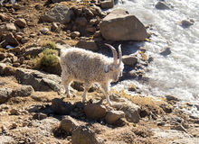 Angora goat is feeding in the Maluti mountains, Drakensberg, Lesotho. Winter in Africa Royalty Free Stock Photography