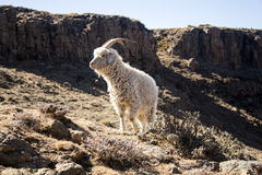 Angora goat is feeding in the Maluti mountains, Drakensberg, Lesotho. Stock Photos