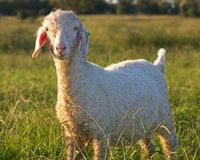Angora goat. An angora goat in the field during setting sunc Royalty Free Stock Photography