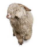 Angora goat in front royalty free stock image