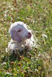 Angora goat kid Stock Photo
