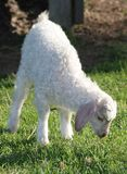 Angora Goat Kid Royalty Free Stock Image