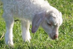 Angora Goat Kid Royalty Free Stock Images