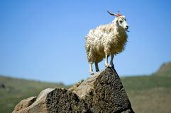 Angora Goat on rock 2. This individual goat stands aloof from the crowd on his high perch high in the Drakensberg mountains Royalty Free Stock Photo