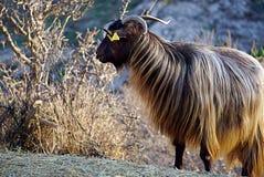 Angora Goat`s Pride royalty free stock images