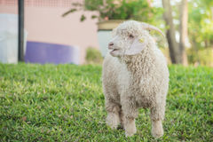 Angora goat Royalty Free Stock Images