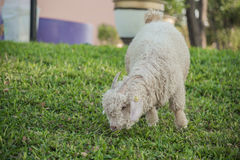 Angora goat Royalty Free Stock Photography