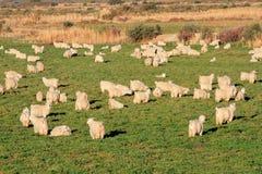 Angora goats Royalty Free Stock Image