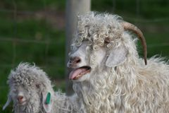 Angora Goats. Prize Angora goats with long shaggy hair for mohair Royalty Free Stock Photography
