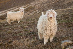 Angora goats on grassy slope Stock Photography