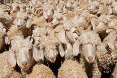 Angora goats in a paddock Royalty Free Stock Photo