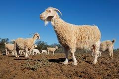Angora goats on rural farm Royalty Free Stock Image