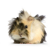 Angora guinea pig Stock Photo