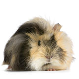 Angora guinea pig Royalty Free Stock Photography