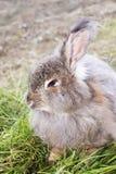 Angora- kanin på ett gräs Arkivbild