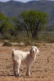 Angora Kid Royalty Free Stock Photo