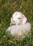 Angora kid. A single kid lying in the grass Stock Photography