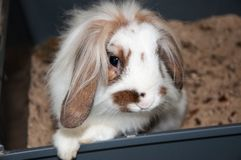 Angora lop-eared rabbit Royalty Free Stock Photos