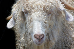 Angora mohair goat Stock Photos