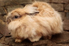 Angora Rabbit. A gold-colored angora rabbit royalty free stock image
